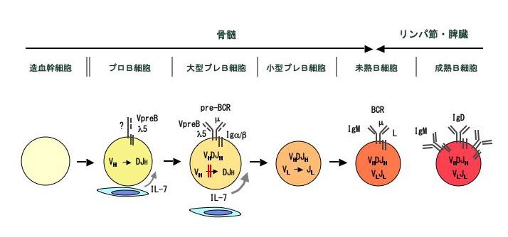 3. B細胞初期分化の制御機構